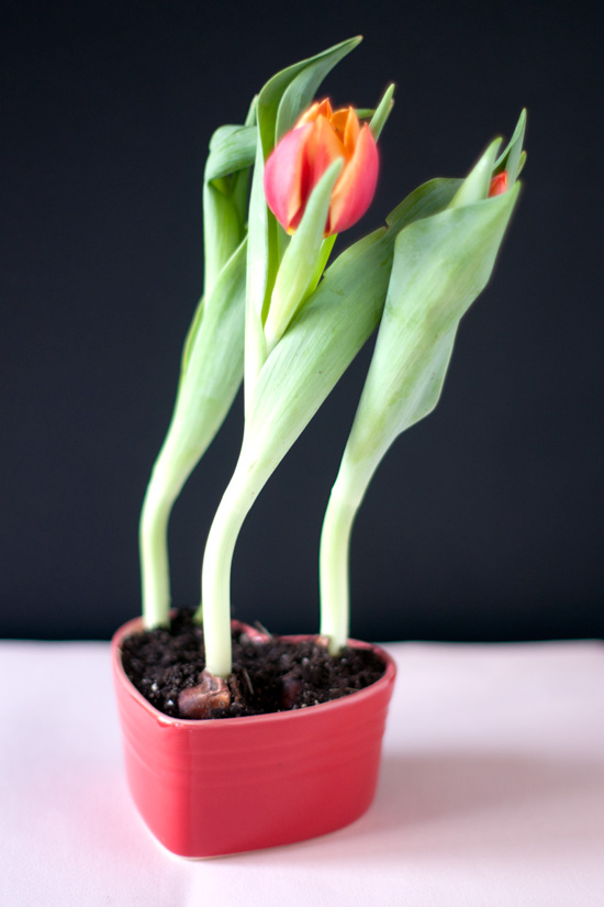 Handmade Valentine Gift Idea – Forced Tulip Bulbs