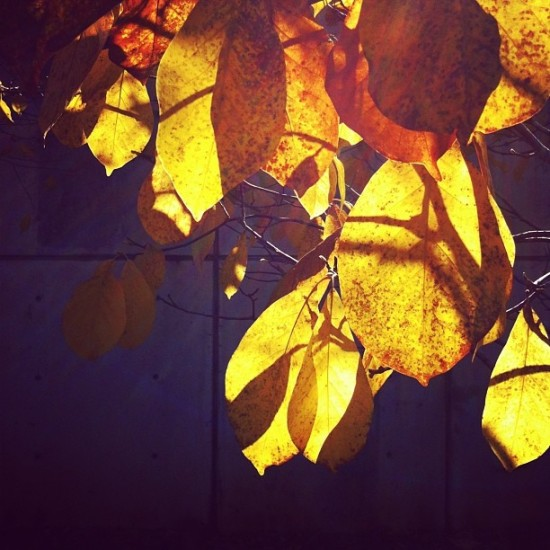 Golden Fall Leaves, iphone Photo By Michelle Smith