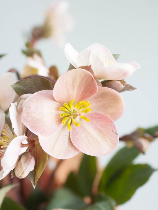 Hellebore Perennial Plant