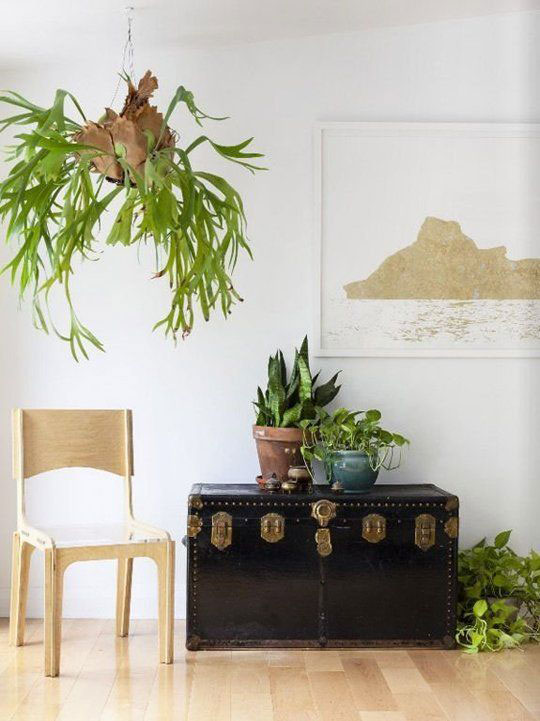 Hanging Staghorn Fern in a Living Room