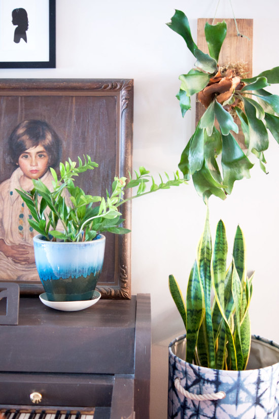 Mounted Staghorn Fern in Living Room with Oil Portrait