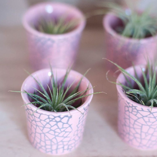Spruce Up Your Desktop with Tiny Air Plants in Tiny Pink Ceramic Cups with Gray Crackled Pattern