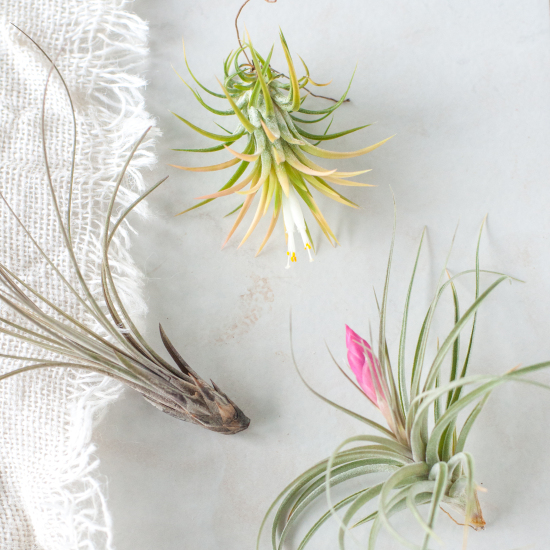 Assorted Air Plants at Gather Goods Co